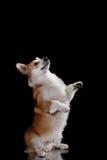 Dog breed Welsh Corgi Pembroke Royalty Free Stock Photography