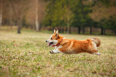 Dog breed Welsh Corgi Pembroke Royalty Free Stock Photography