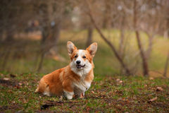 Dog breed Welsh Corgi Pembroke. Walking in autumn park Royalty Free Stock Images