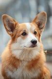 Dog breed Welsh Corgi Pembroke Stock Image