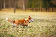 Dog breed Welsh Corgi Pembroke Royalty Free Stock Image