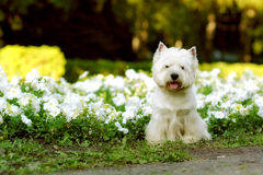 Dog breed West highland white Terrier Stock Images
