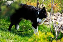 The dog breed Yakut husky. Dog breed Yakut husky walking in the park royalty free stock image