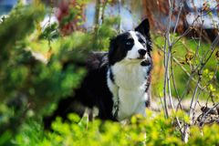 The dog breed Yakut husky. Dog breed Yakut husky walking in the park royalty free stock images