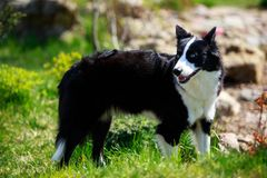 The dog breed Yakut husky. Dog breed Yakut husky walking in the park stock photography