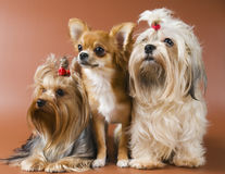 Dog of breed Yorkshire terrier, chihuahua and lap- royalty free stock photography