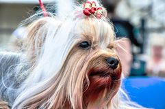 Dog breed Yorkshire Terrier Stock Photo
