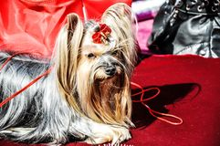 Dog breed Yorkshire Terrier Royalty Free Stock Image