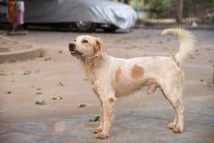 Dog breeder Thailand Stock Image