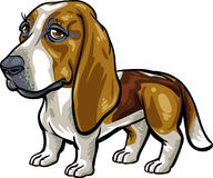 Dog Breeds: Basset Hound Stock Image