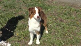Dog breeds English Shepherd stock video