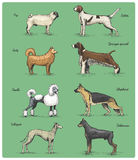 Dog breeds engraved, hand drawn vector illustration in woodcut scratchboard style, vintage drawing species. Stock Images