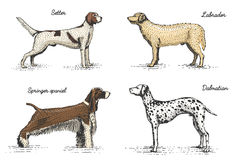 Dog breeds engraved, hand drawn vector illustration in woodcut scratchboard style, vintage drawing species. Stock Photos