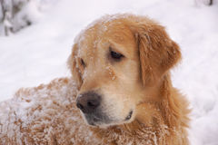 The dog breeds a golden retriever looking back, lying around and playing in white snow.  Stock Photography