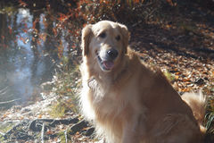 A dog breeds a golden retriever sits in the rays of sunlight on the shore of a forest lake.  Stock Images