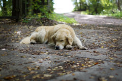 The dog breeds a golden retriever sleeping on the ground in the shade of a tree in the fall. The dog breeds a golden retriever sleeping on the ground in the Royalty Free Stock Images