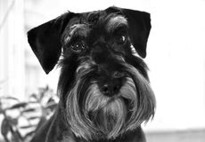 Dog breeds miniature schnauzer. Close-up. Portrait of a favorite dog of the breed mini schnauzer on his birthday. His age is 1 year. Close-up royalty free stock image