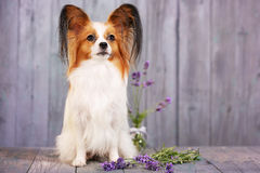 Dog breeds papillon with lavender. On a gray background Stock Photo