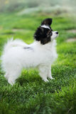Dog breeds Papillon. Puppy breeds Papillon on the green grass Stock Photos