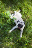 Dog breeds a pug for a walk Royalty Free Stock Photo