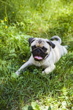 Dog breeds a pug for a walk Royalty Free Stock Photography