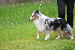 Dog breeds of shelties Royalty Free Stock Photography