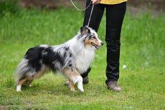 Dog breeds of shelties Stock Photos