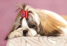 Dog breeds shih tzu Stock Photography