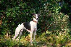 Dog breeds whippet, greyhound hunting dogs Royalty Free Stock Photo
