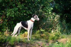 Dog breeds whippet, greyhound hunting dogs Stock Image