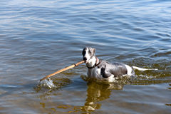 Dog breeds whippet on summer nature. A dog in the water plays wi. Dog breeds whippe on summer nature, A dog in the water plays with a stick Stock Photo