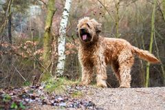 Dog briard in forest. Dog briard sticking out tongues, standing in forest Royalty Free Stock Photo