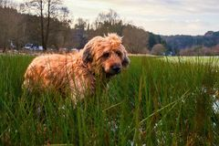 Dog briard in meadow Royalty Free Stock Photography