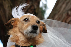 Dog in a bridal veil. Cute scruffy terrier dog wearing a bridal veil Stock Images