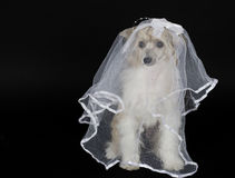 Dog bride. Cute Chinese Crested dog (Powderpuff variety) wearing a bridal veil, isolated on black Stock Image