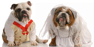 Dog bride and groom Stock Images
