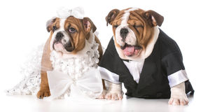 Dog bride and groom Stock Photo