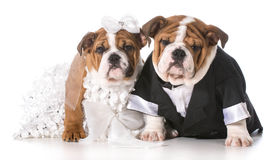Dog bride and groom. Puppies Stock Images