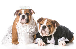 Dog bride and groom Stock Photos