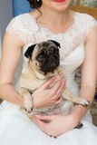 Dog in the bride's hands. Favourite dog in the bride's hands Stock Photography