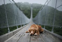 The dog at the bridge. Nova Scotia duck tolling Retriever In the beautiful and mystical landscapes. Travelling with a pet stock photos
