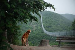 The dog at the bridge. Nova Scotia duck tolling Retriever In the beautiful and mystical landscapes. Travelling with a pet royalty free stock photography