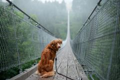 The dog at the bridge. Nova Scotia duck tolling Retriever In the beautiful and mystical landscapes. Travelling with a pet stock image
