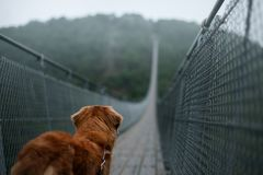 The dog at the bridge. Nova Scotia duck tolling Retriever In the beautiful and mystical landscapes. Travelling with a pet royalty free stock photos
