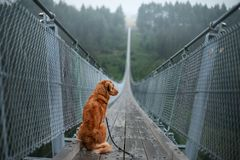 The dog at the bridge. Nova Scotia duck tolling Retriever In the beautiful and mystical landscapes. Travelling with a pet stock photography