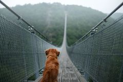 The dog at the bridge. Nova Scotia duck tolling Retriever In the beautiful and mystical landscapes. Travelling with a pet royalty free stock images