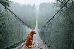 The dog at the bridge. Nova Scotia duck tolling Retriever In the beautiful and mystical landscapes. Travelling with a pet stock photo