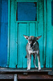 Dog on bright blue background Royalty Free Stock Photography