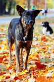 Dog in brightly colored autumn leavesv Stock Photo