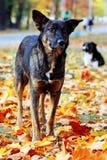 Dog in brightly colored autumn leavesv stock photo